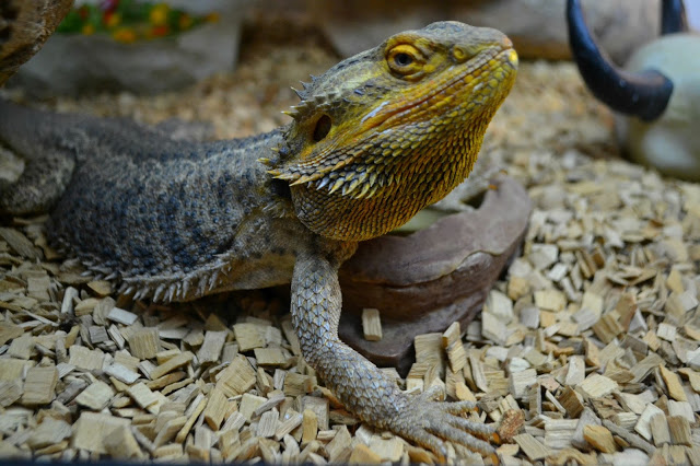 lizards at Lightwater Valley