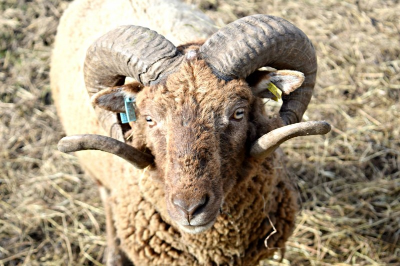 Bill-Quay-farm-sheep