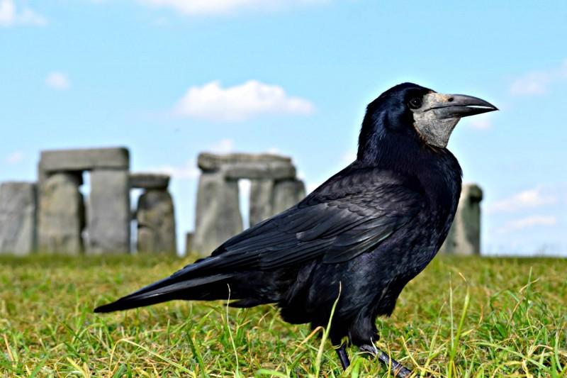 Stonehenge-crow
