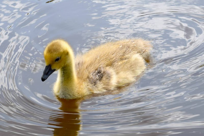 Paultons-Park-ducks