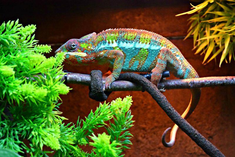 Paultons-lizard