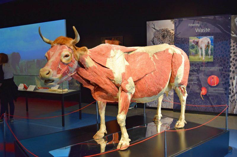 Life-Centre-cow