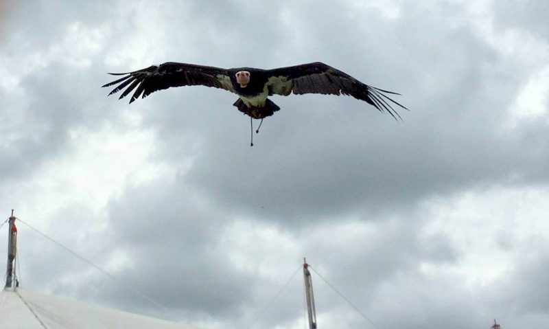 Beamish-eagle