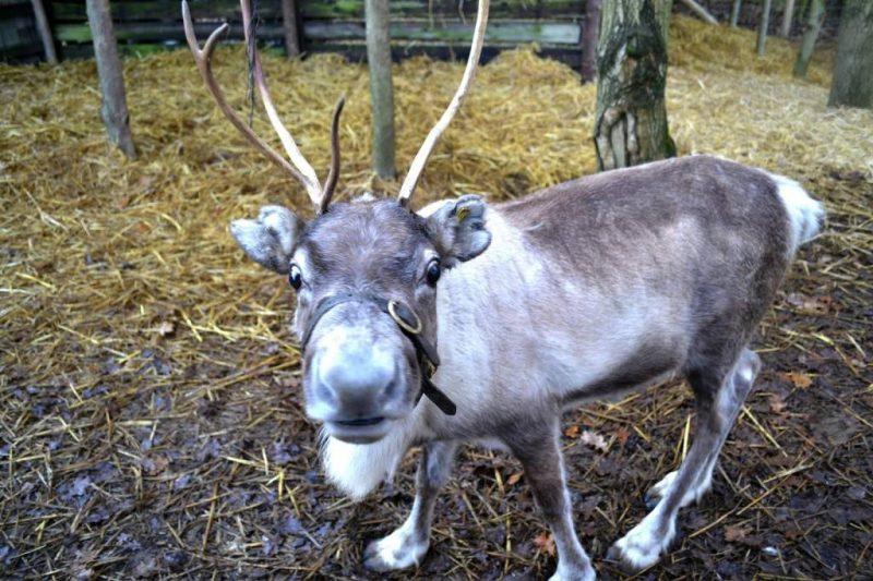 beamish-reindeer